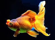 尾鳍精致的小金鱼图片