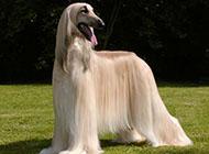 阿富汗猎犬柔滑被毛图片