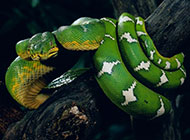 动作敏捷的大翠青蛇图片