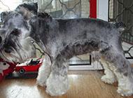 小型雪纳瑞犬可爱侧影图片