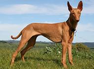 表情警惕的大型法老王猎犬图片