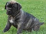 蠢萌的狗卡斯罗犬幼犬图片