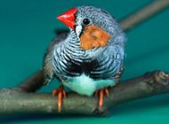 灰珍珠鸟羽翼丰满图片