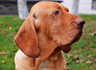 聪颖能干的寻血猎犬图片