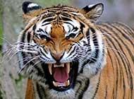 孟加拉虎 老虎