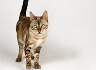埃及猫图片神态呆愣搞笑