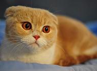 苏格兰折耳猫图片表情呆萌可爱