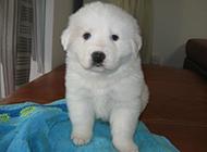 毛茸茸的大白熊犬幼犬图片