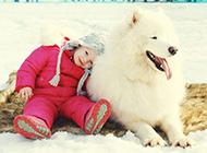 萨摩耶犬可爱唯美动物图片壁纸