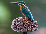鸟类动物荆棘鸟图片壁纸