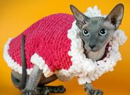 加拿大斯芬克斯猫图片造型干净喜庆