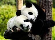 惹人喜爱的国宝熊猫组图