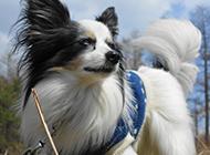 反应机警的宠物狗蝴蝶犬图片