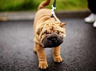 搞笑卖萌的小沙皮狗图片