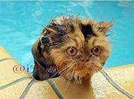 这年头热的猫咪都要去游水降温了