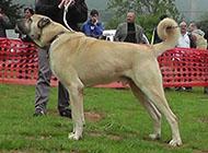土耳其坎血统纯正的高犬图片