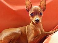温顺迷人的小鹿犬图片