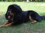 藏獒犬凶猛霸气图片