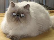 胖乎乎的喜马拉雅种猫图片