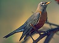 知更鸟的图片逗人喜爱