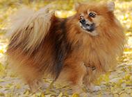 狐狸犬秋日树林写真图片