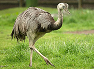 非洲鸵鸟姿态优雅图片