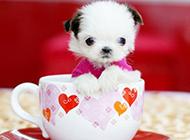袖珍狗狗茶杯犬图片欣赏