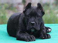 黑色的卡斯罗犬幼犬图片