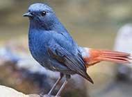 蓝衣公子红尾水鸲高清写真图片