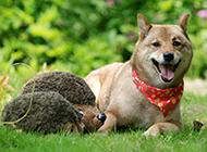 趴着的柴犬唯美写真图片