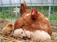 恶搞狗狗图片之阿姨,我不是小鸡