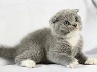 可爱萌萌哒的英国折耳猫图片