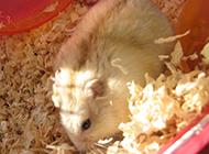 模样可爱的布丁仓鼠图片