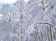 雪花在树木上飞舞桌面高清壁纸