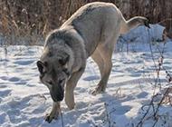 纯种狼青犬雪地自由玩耍图片