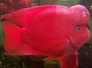 火红的大血鹦鹉鱼图片