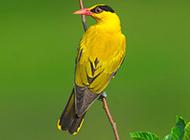 羽翼艳丽的金黄鹂鸟图片