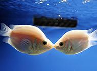 可爱的接吻鱼水族箱图片