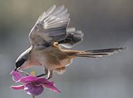 展翅飞翔的长尾伯劳鸟图片
