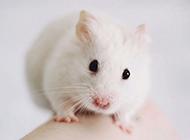 小白鼠甜美意境特写图片