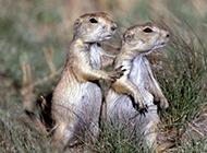 友爱顽皮的小地鼠图片