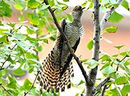杜鹃鸟的图片实拍摄影