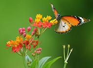 超清唯美蝴蝶与鲜花春天浪漫风景图片
