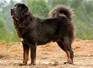 纯血西藏獒犬身材强壮高大图片
