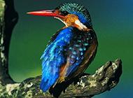 法国啄木鸟羽毛艳丽图片