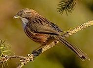 枝头上的母山鹛鸟类动物图片