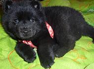 小黑熊犬居家可爱特写图片
