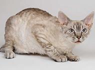 高清棕灰色猫咪图片