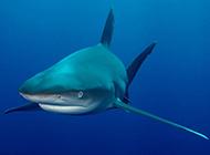 深海鲨鱼高清特写图片