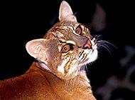 眼神警惕戒备的金猫图片